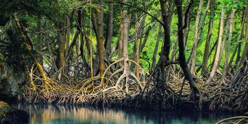 mangrove, rhizome, decolonial