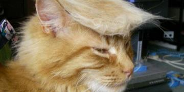 cat meme, lolcat, politics